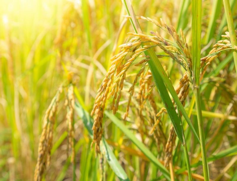 稻作與雜糧篇_台灣智慧農業現況與需求調查(2019年)